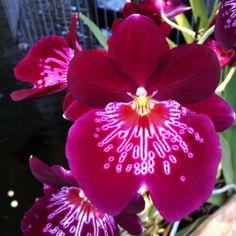 Dutch Orchids