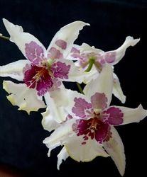 Beallara Tahoma Glacier orchid