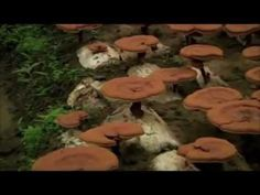 "For over 4000 years Ganoderma Lucidum has been recognized by Chinese medical professionals as the highest ranked of all herbs found in the Chinese Pharmacopoeia. The Chinese name for Ganoderma is Lingzhi, means ""spiritual potency"". The Japanese name for Ganoderma is Reishi and is regarded as the King of Herbs."