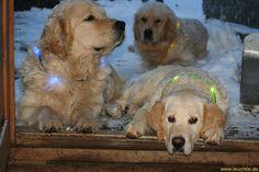 Light collar LEUCHTIE LED for dogs - Golden Retriever in the snow.