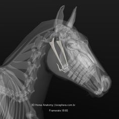 Image result for view of horse location of hyoid bone