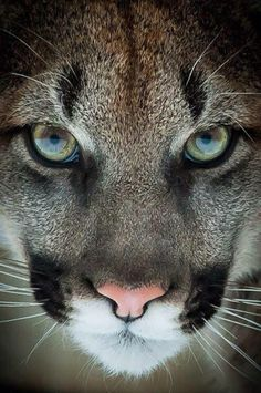 Nice...cougar, or puma or mountain lion, they're all the same cat. They're gorgeous!! It's a shame they're losing more and more of their habitat here in CA. So very sad because rather than relocate them they are often killed! THEY were HERE before us!!