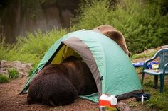 And that's why you don't keep food in your tent! :D Of course Florida Black Bears are not that big.