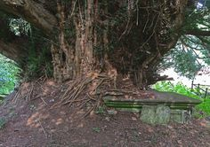 Ancient churchyard Yew, devouring tomb, Scarry!   Flickr - Photo Sharing!