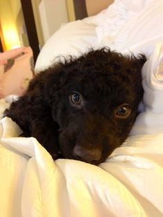 Irish water spaniel puppy. Soooo cute
