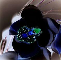 Orquídea Negra - Black Orchid interessantes e raras