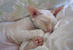 7 x 5 Sleeping Kitty Print Devon Rex Cat Soft by glennisphotos,