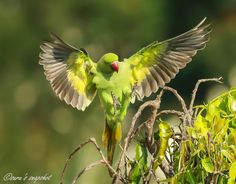 Rose-ringed parakeet - female by Surendran Nair on 500px