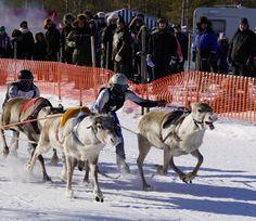 Santa Claus Reindeer Race in Pello in Finnish Lapland