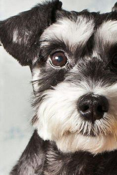 Miniature Schnauzer puppy - Tap the pin for the most adorable pawtastic fur baby apparel! You'll love the dog clothes and cat clothes! <3