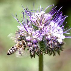 Fleißiges Bienchen am Büschelschön.  #wildbienen #wiesenblumen Austria, Dandelion, Insects, Bee, Instagram, Flowers, Plants, Animals, Meadow Flowers