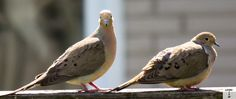 2 doves shot by Gavin Gillett...I love Mourning Doves!