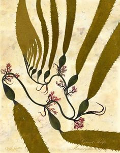 Coastal Prezence Seaweeds of Vancouver Island. I purchased a couple of these at the Victoria Museum. Botanical Tattoo, Botanical Drawings, Botanical Prints, Weird Sea Creatures, Ocean Creatures, Kelp Forest, Ocean Pictures, Alcohol Ink Art, Flower Art