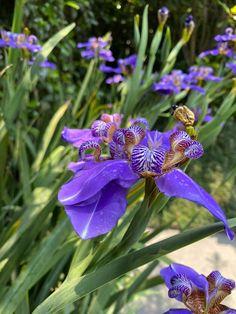 Iris, Gardens, Shrubs, Landscaping, Nature, Plants, Bearded Iris