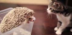 【ハリネズミと子猫】小さな2匹の初めての出会い、新しい友達