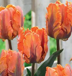 Irene Parrot Tulip bulbs have a splashy combination of orange blossoms that have…