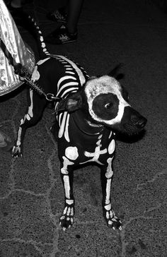 It can be tough to pick the best Halloween costumes for large dogs. It can be tough to pick the best Halloween costumes for large dogs. Dog Skeleton Costume, Costume Halloween, Lucy Skeleton, Halloween Dog Skeleton, Dog Spider Costume, Maternity Halloween, Skeleton Bones, Creepy Halloween, Halloween Skeletons