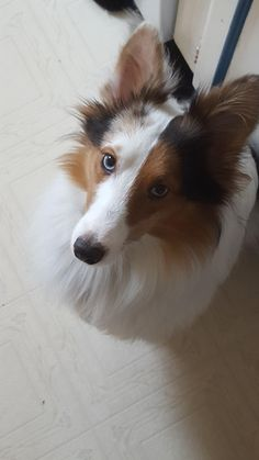 305 Best Beautiful Collies Images On Pinterest In 2018 Cute Dogs
