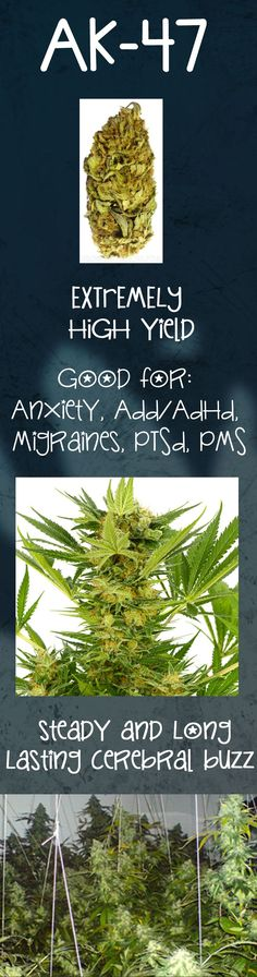 If you are looking for a strain with high yields, grows well indoors, and is perfect for anyone suffering from migraines or anxiety.