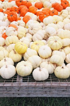White pumpkins at th