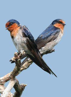 Pretty Birds, Beautiful Birds, Animals And Pets, Baby Animals, Barn Swallow, Barnyard Animals, Paper Birds, Bird Pictures, African Elephant