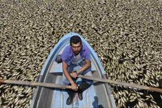 Miles de peces muertos son recogidos de las aguas de la Presa Hurtado en el estado mexicano de Jalisco. La mortandad de peces dejó a unas ochenta familias sin sustento. (EFE)