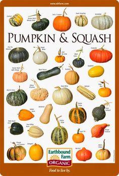 PUMPKIN & SQUASH ID CHART (free download)