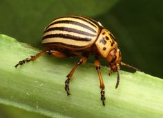 Identify common garden pests and garden bugs with our insect pictures. Know their life-cycles, how to identify insects that are harmful to your plants, and how to use organic and natural pesticides to get rid of garden pests. Garden Bugs, Garden Insects, Garden Pests, Organic Gardening, Gardening Tips, Vegetable Gardening, Potato Bugs, Rotation Des Cultures, Plant Pests
