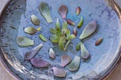 How to grow succulents from cuttings of succulent leaves