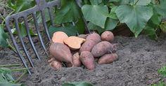 Dekorative Blätter, hübsche Blüten und nährstoffreiche Knollen: Süßkartoffeln,einGemüse aus der Gattung der Prunkwinden, sindsehr leicht anzubauen. Siewachsen im Gemüsebeet oder auf der Terrasse in speziellen Anzuchttöpfen wie dem PotatoPot.