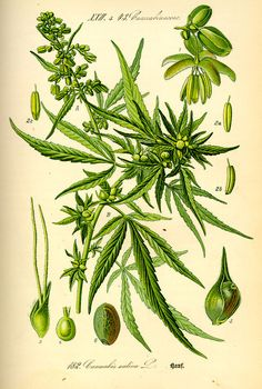 From 1850 to 1942, marijuana was listed in the United States Pharmacopoeia as a useful medicine for nausea, rheumatism, and labor pains and was easily obtained at the local general store or pharmacy