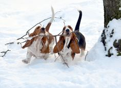 love basset hounds