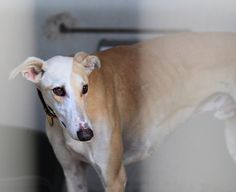 Careto (M)  Available at Galgos Del Sol