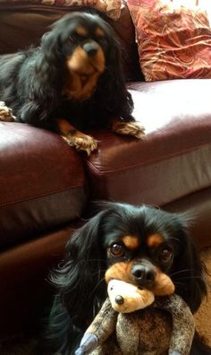 Black and Tan Cavalier King Charles Spaniels
