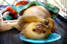 Bucket list item- 1. Give money to Sloth Sanctuary of Costa Rica 2. Send stuff animals to Sloth Sanctuary of Costa Rica (cause I would like to see a sloth with a stuffed smurf!) 3. Stay at the Sloth Sanctuary of Costa Rica