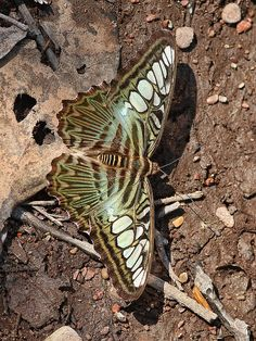 Clipper Butterfly: The clippers (Parthenos) are a genus of butterflies found in Southeast Asia.