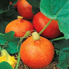 Dýně Hokkaido - tykev velkoplodá plazivá - semena tykve g, 6 ks - Semeniště. Organic Pumpkin Seeds, Organic Seeds, Organic Plants, Veg Garden, Edible Garden, Squash Plant, Squash Varieties, Rainbow Chard, Pumpkin Squash