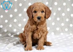 Axe | Goldendoodle - Miniature Puppy For Sale | Keystone Puppies Goldendoodle Miniature, Miniature Puppies, Goldendoodle Puppy For Sale, Thing 1, Design Development, Puppies For Sale, Axe, Baby Dolls, Miniatures