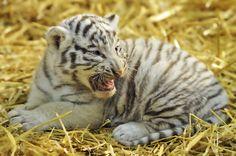 Photograph White Tiger Cub Roar by Josef Gelernter on 500px