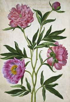 heaveninawildflower:    Peonies by Johann Jakob Walther ( 17th century).  Victoria and Albert Museum.  artfinder.com.