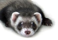 www.perfectpetowners.com: Ferrets - a good pet to consider
