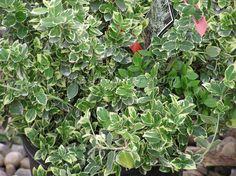Euonymus fortunei var. radicans.  Klätterbenved.