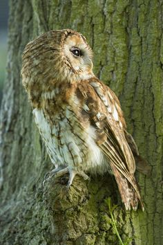 Tawny Owl - null