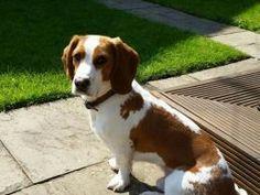 Basselier   Cavalier king charles spaniel + Basset hound