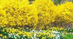 Forsythien schneiden - Mein schöner Garten