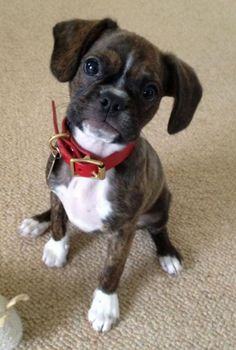 """Boston Terrier / Cavalier King Charles Spaniel  Buddy is a beautiful, unique Boston Terrier / King Charles Cavalier   Everybody stops Buddy to say, """"look at the little boxer dog"""", and he acts like one too!"""