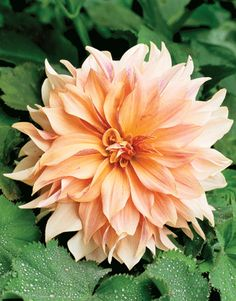 Such pretty orange dahlias for a wedding.
