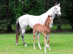 Celtas Horses esittely - Finnish Warmblood Horses Warmblood Horses, Finland, Birds, Animals, Image, Celtic, Animales, Animaux, Bird