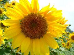 [フリーフォト][ヒマワリ][向日葵][ひまわり][夏][花]