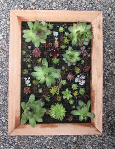Succulent wall art - simple frame with succulent cuttings